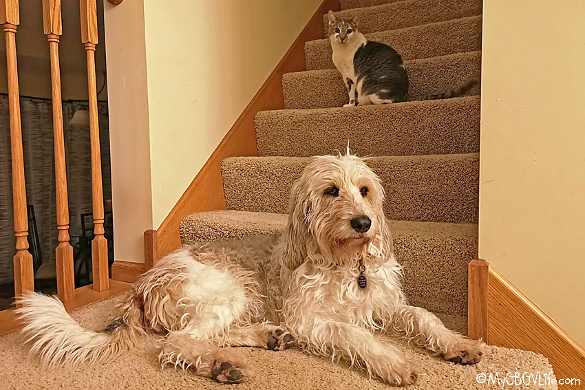 My GBGV Life The Challenges Of House Cats For Dogs