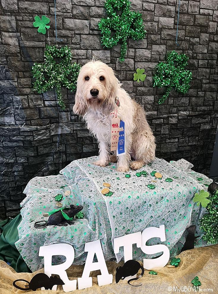 My GBGV Life Finally Bailie Earns Her RATS Barn Hunt Title