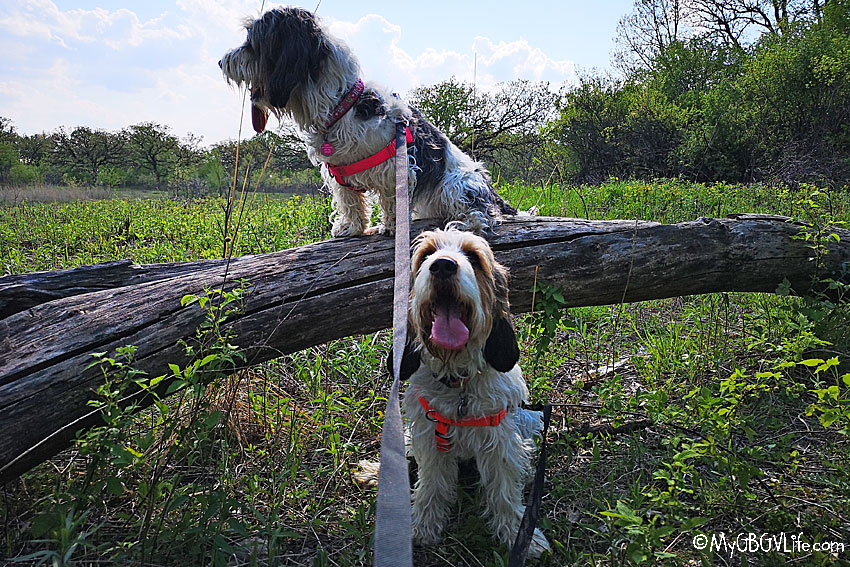 My GBGV Life dogs on a log