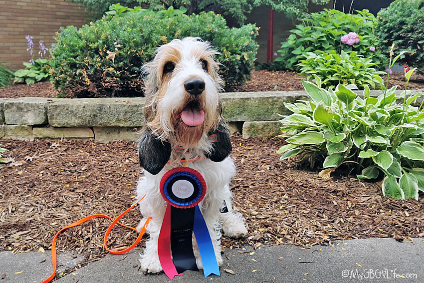 My GBGV Life An NW3 Title For Olivia - Family Nose Work History