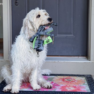 A Dual Handle Bungee Leash Makes Dog Walking Better