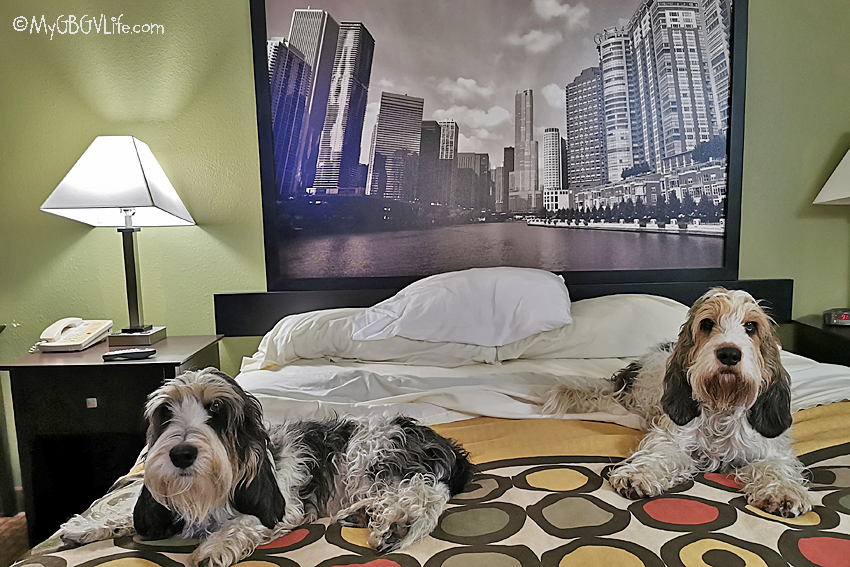 My GBGV Life dogs in bed