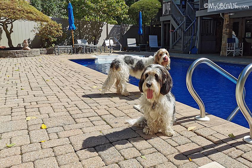 My GBGV life pool dogs