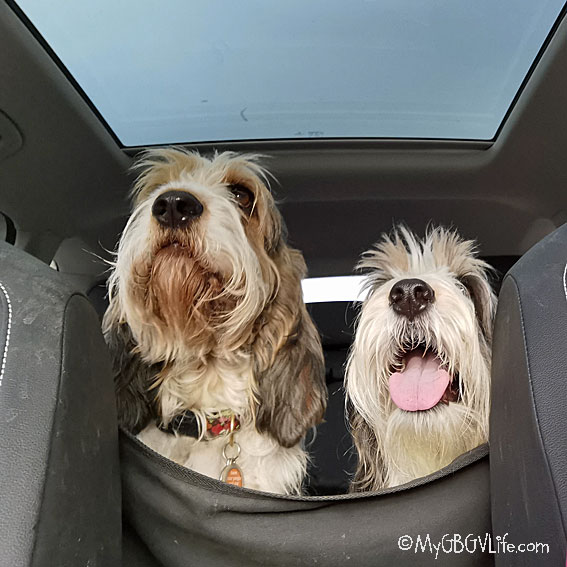 My GBGV Life happy hounds in the car