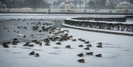 Swans and ducks sit on ice and huddle to stay warm
