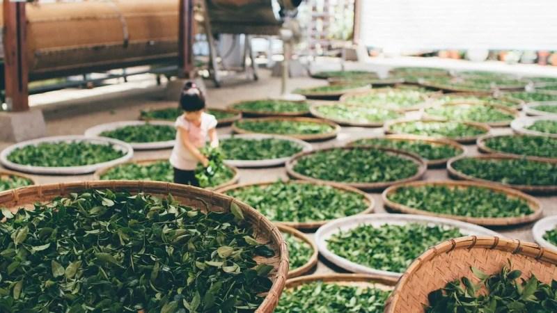 Tea leaves getting harvested