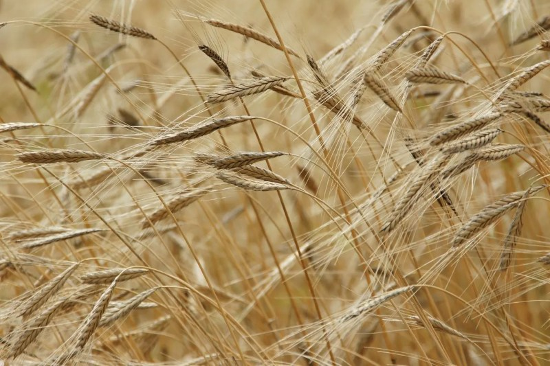 Einkorn growing on a field
