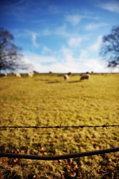 sheep and wire