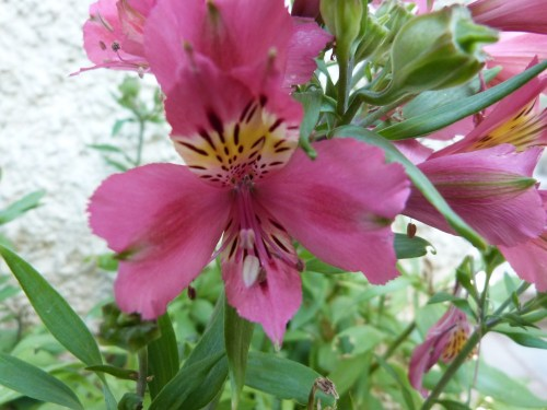 Flore corfiote