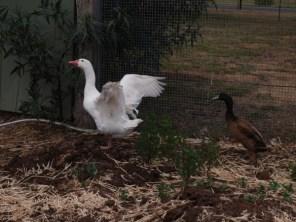 L'oie et le canard (Geelong - Australie / 2015)