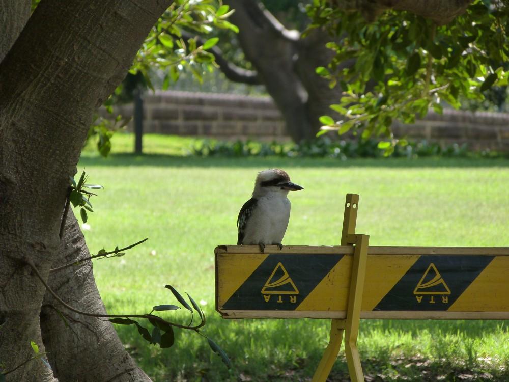 Australie : 10 oiseaux communs à Sydney