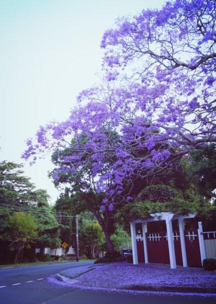 Jacaranda en fleurs au début de l'été