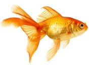 Do you have an attention span longer than a goldfish?