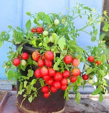 how-to-grow-tomatoes-in-pots-conclusion
