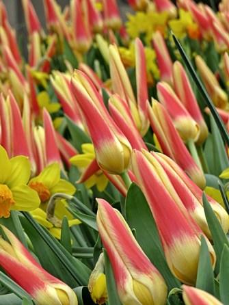 tulips & daffodils - Helsingborg
