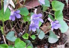park violets
