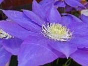 kyoto blue