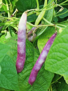 garden - more beans