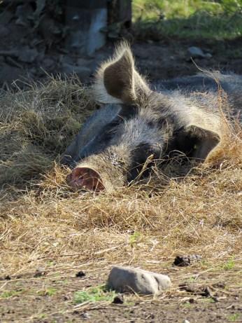 pig i am watching you