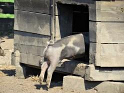 pig last one in