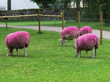 sheep in pink