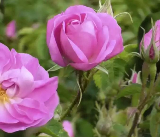 Damascene rose medicinal plants for women's