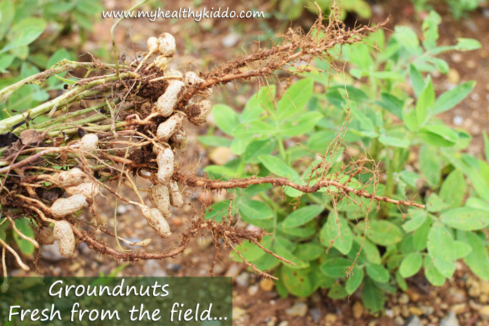 Groundnuts fresh from the field