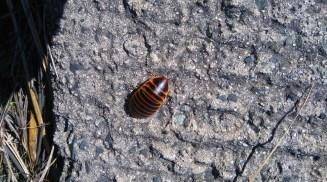 Ewww -- mountain roach