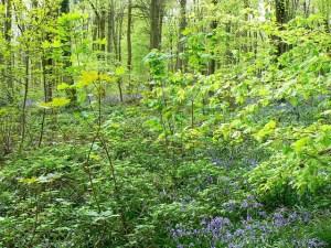 Trees,_saplings_and_bluebells,_West_Woods,_near_Marlborough_-_geograph.org.uk_-_789248