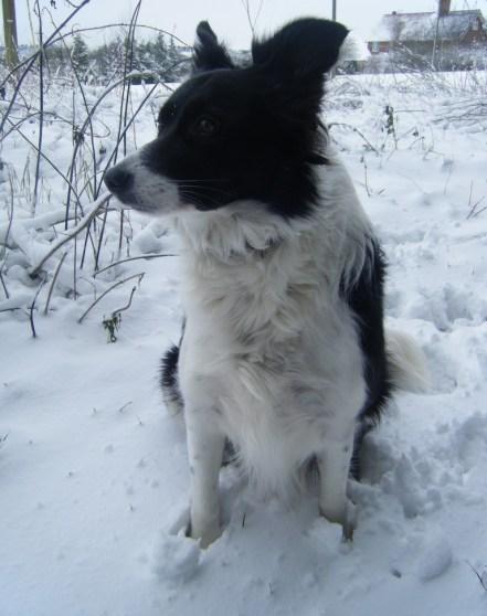 Poppy in the snow