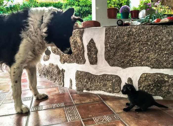 Poppy looking at one of Barmy's kittens