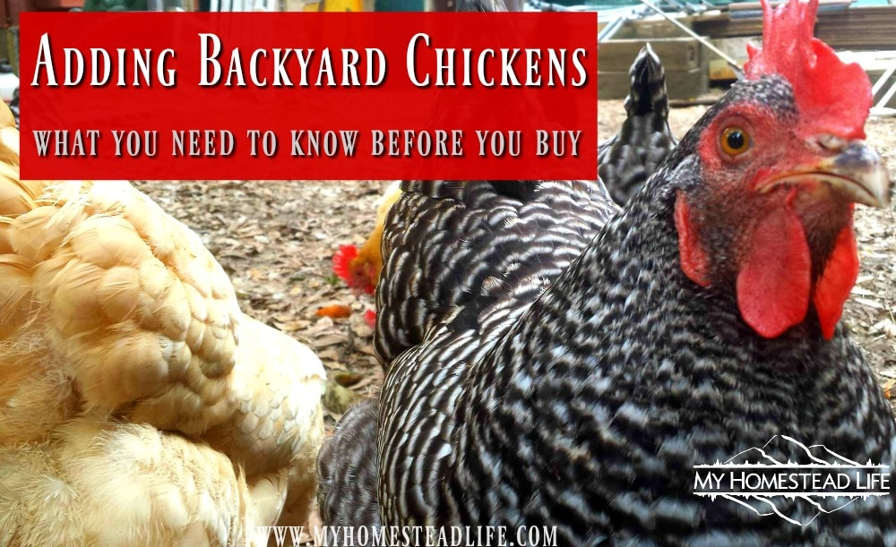Adding Backyard Chickens- what you need to know before you buy.
