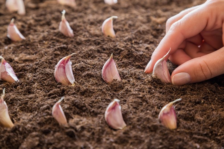 growing-garlic-from-cloves