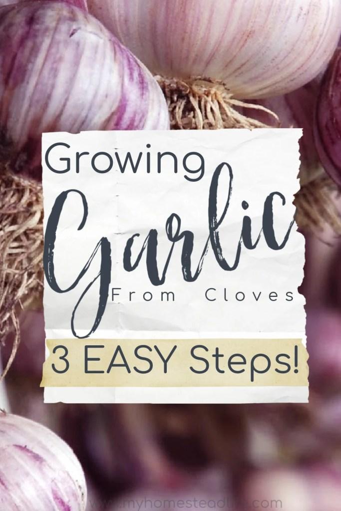 grow-garlic-from-clove-