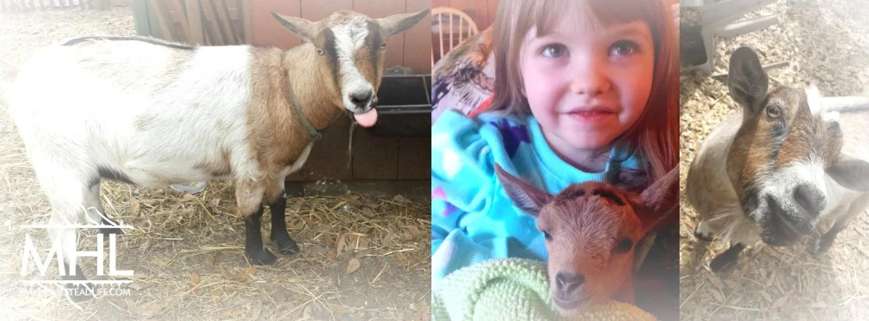 Goats @ www.myhomesteadlife.com