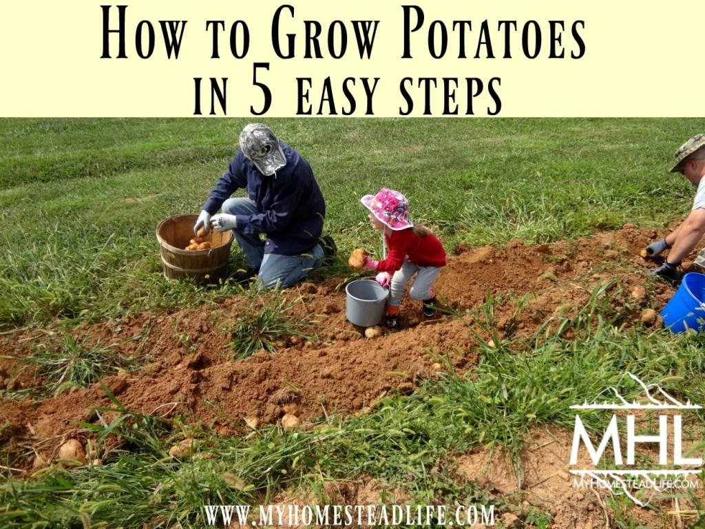 How to grow potatoes in 5 easy steps.