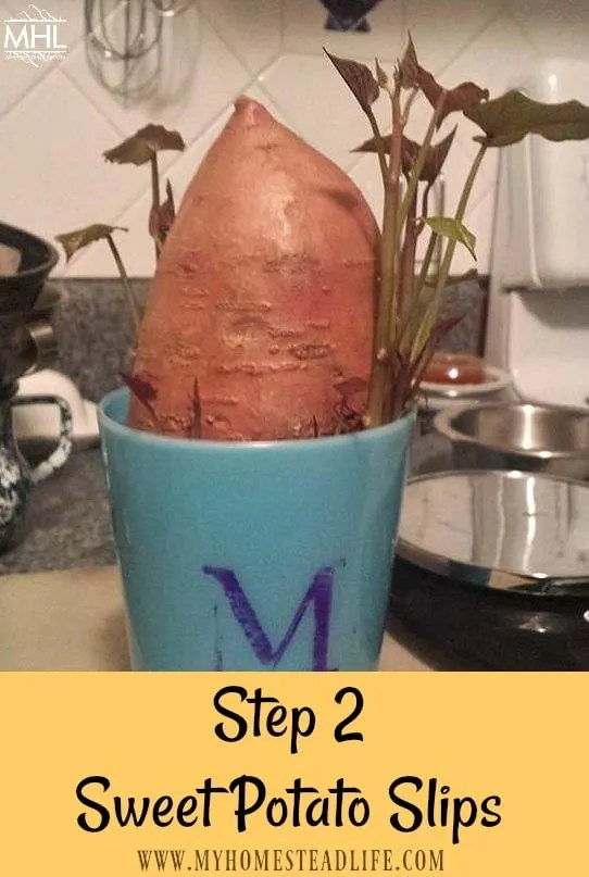growing-sweet-potatoes