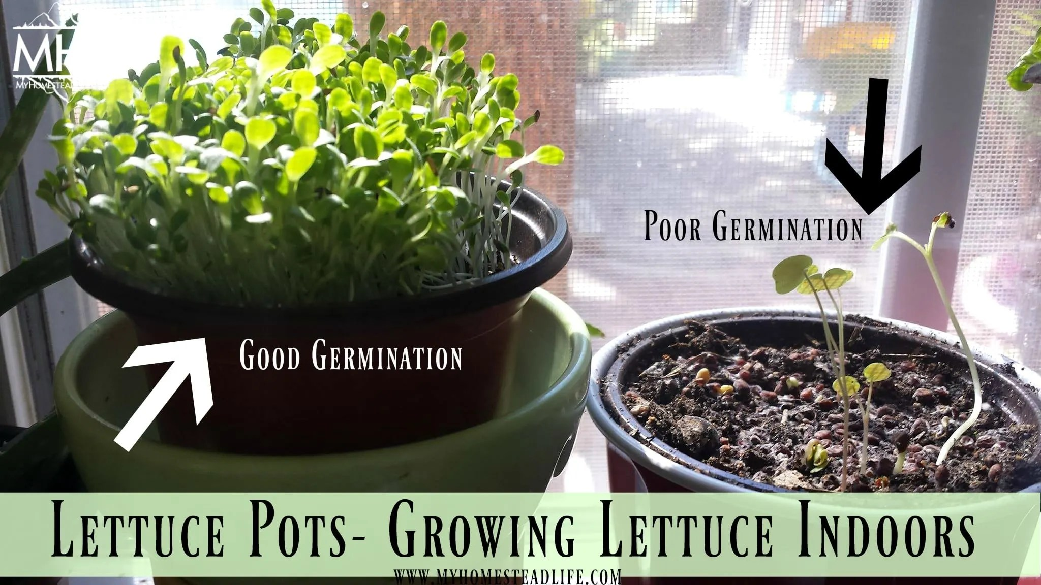 Lettuce Pots- Growing Lettuce Indoors- germination