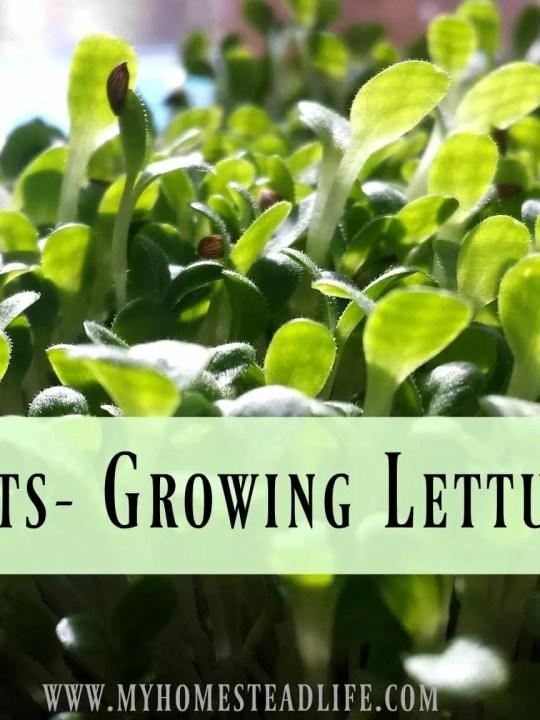 Lettuce Pots- Growing Lettuce Indoors