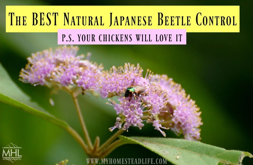 japanses-beetles-natural-pest-control-gardens