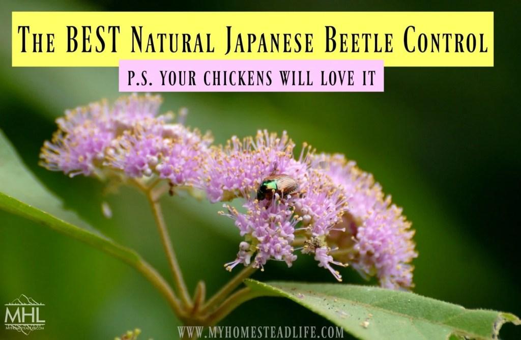 japanses-beetles-natural-pest-control-gardens