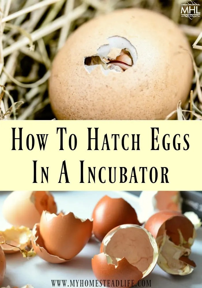 how to incubate eggs-hatching eggs