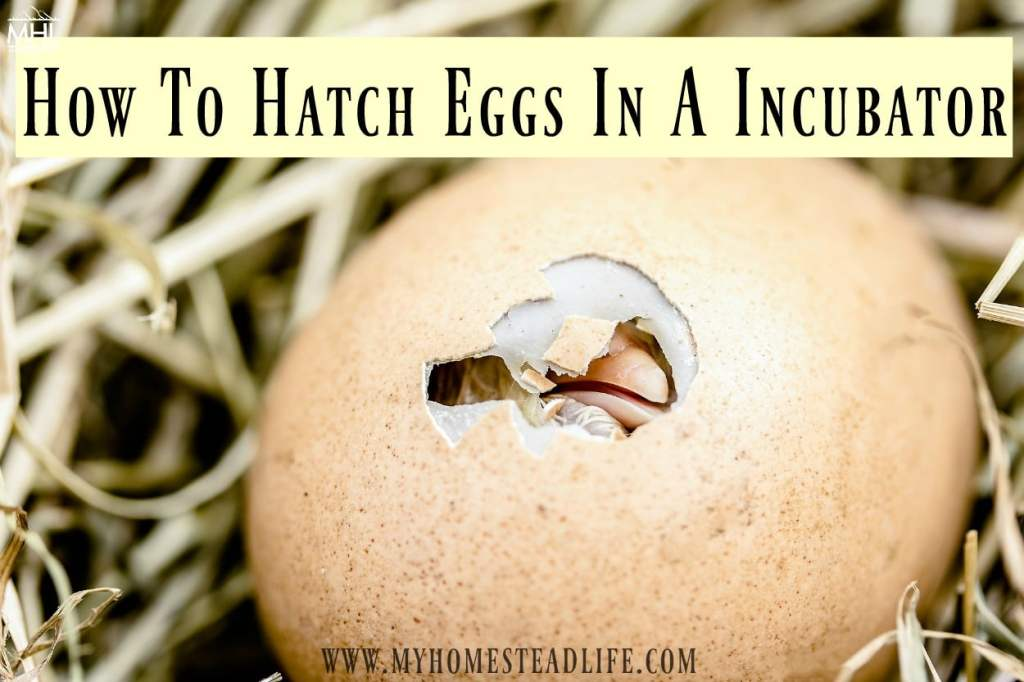 egg-incubator-how to hatch eggs