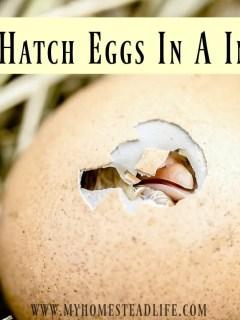 egg-incubator-how to hatch eggs