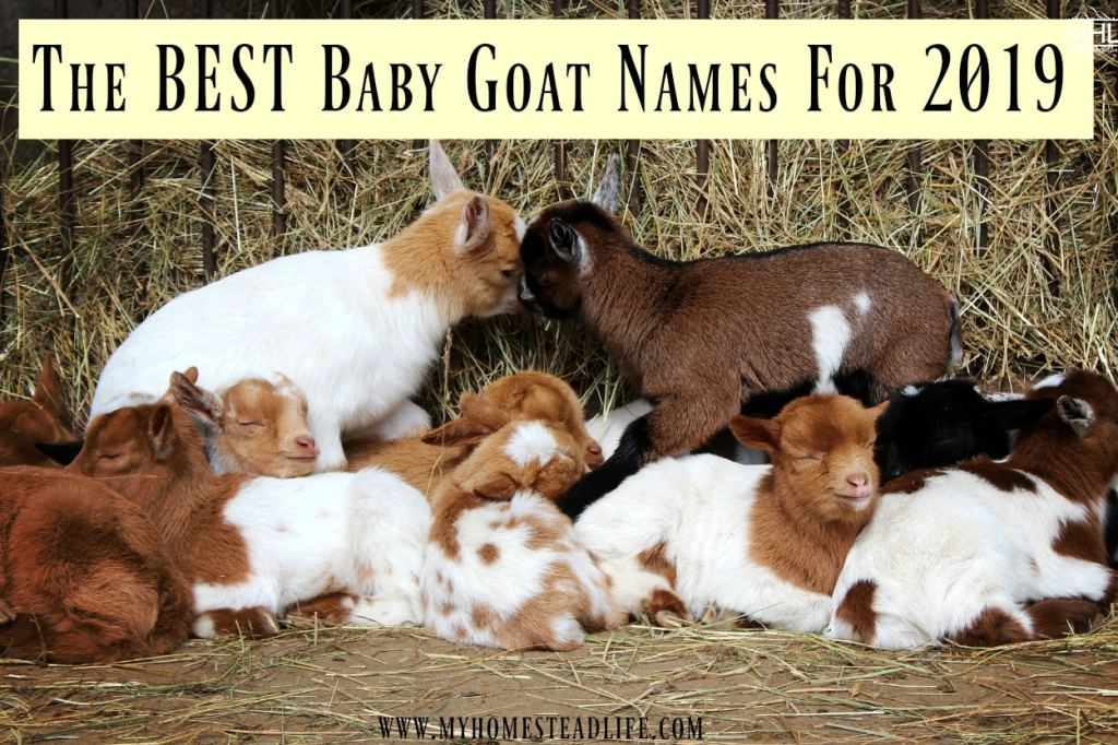 The Best Baby Goat Names For 2019 - My Homestead Life