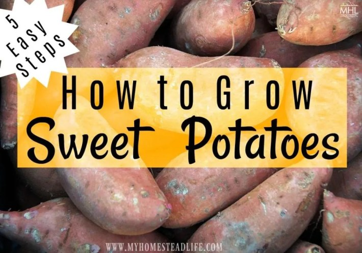 gardening-for-beginners-how-to-grow-sweet-potatoes
