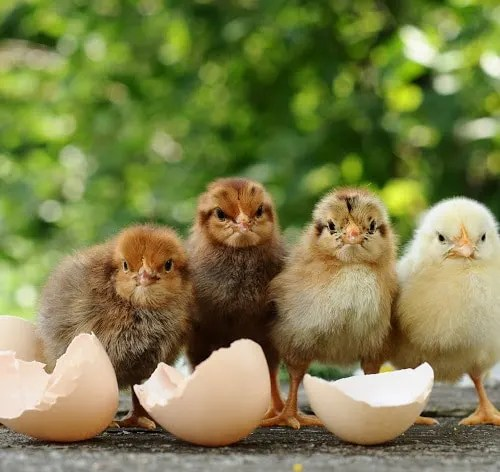 baby-chickens-for-sale