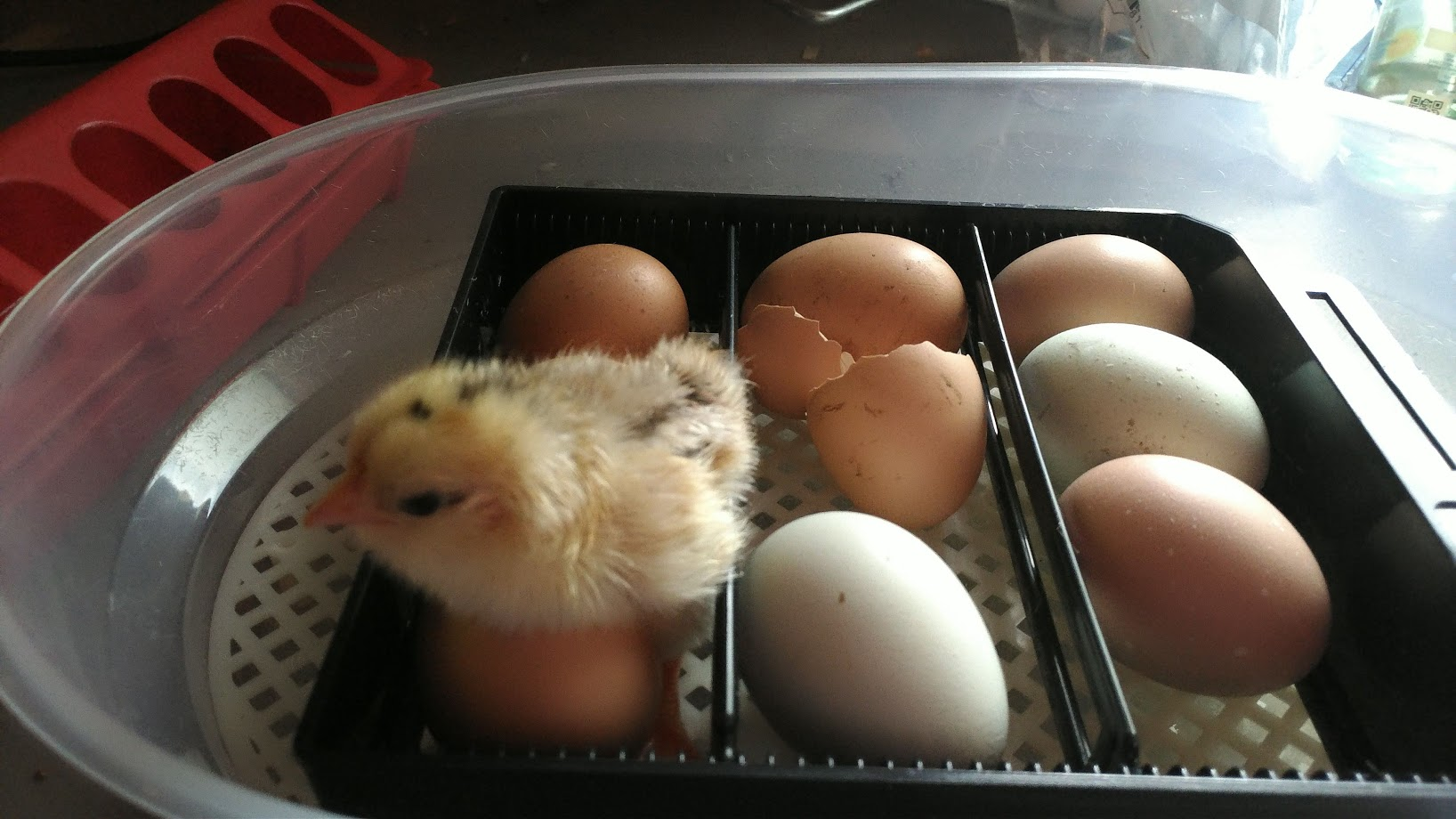 eggs-in-the-incubator