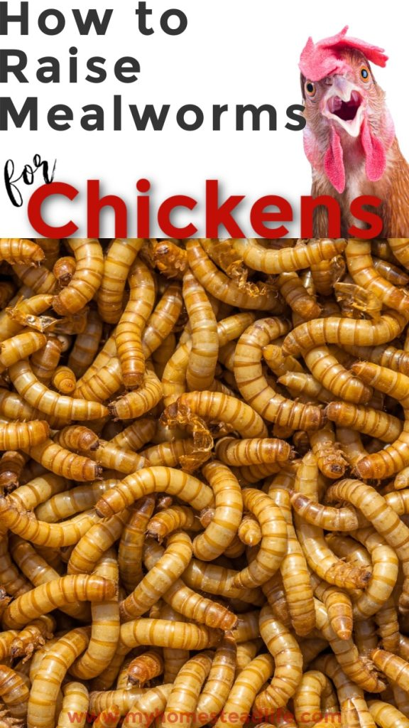 raising-mealworms-for-chickens