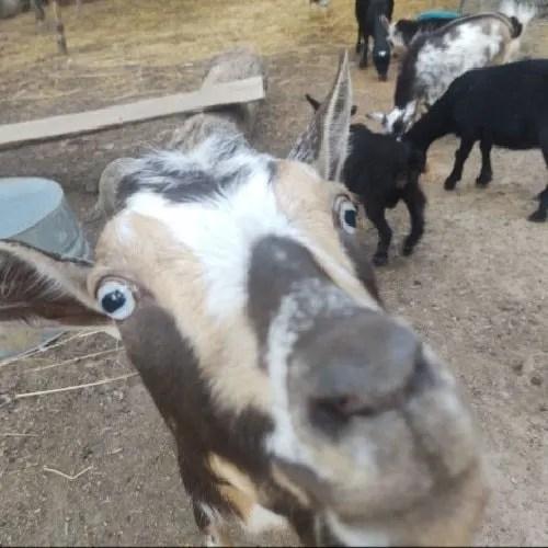 goats-for-sale-nigerian-dwarf